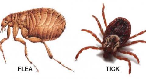 parasieten-huisdieren-teken-vlooien.jpg